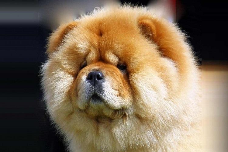τεμπέλικες ράτσες ράτσες σκύλων